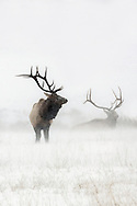 A pair of elk brace themselves against the wind and snow of a powerful winter storm on the National Elk Refuge in Jackson, Wyoming.
