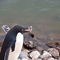 An Adelie penguin carrying a rock in its beak.  This penguin photograph was taken in Antarctica.