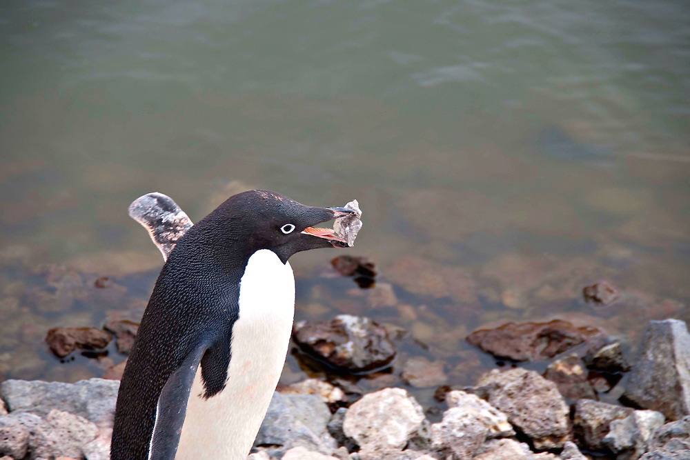 An Adelie penguin carrying a rock in its beak.  This penguin photograph was taken in Antarctica.