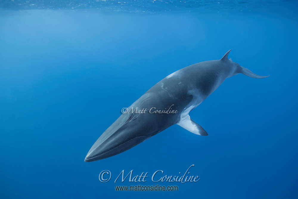 Minke whale near the surface. The minke lives in a world.defined by water. This is their liquid world. (Photo by Wildlife Photographer Matt Considine)