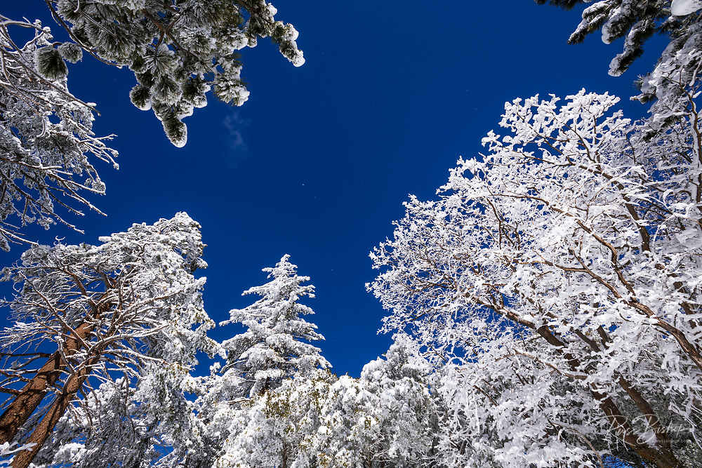 Snow dusted pines in the San Bernardino Mountains, San Bernardino National Forest, California USA