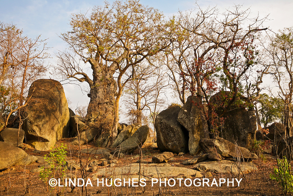 Landscape with Giant Baobab (Adansonia digitata) trees in the Upper West Region of Ghana West Africa
