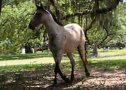 An embattled Cumberland Island stallion trotting to join the herd.