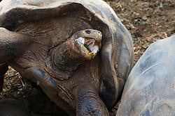 Galapagos giant tortoise (Chelonoidis nigra) with mouth opened, Charles Darwin Research Station, Galapagos Islands National Park, Santa Cruz Island, Galapagos, Ecuador