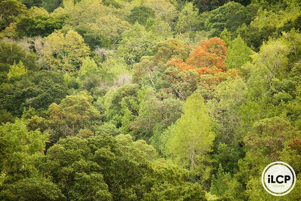 Deciduous forest canopy, Briones Regional Park, Orinda, Bay Area, California