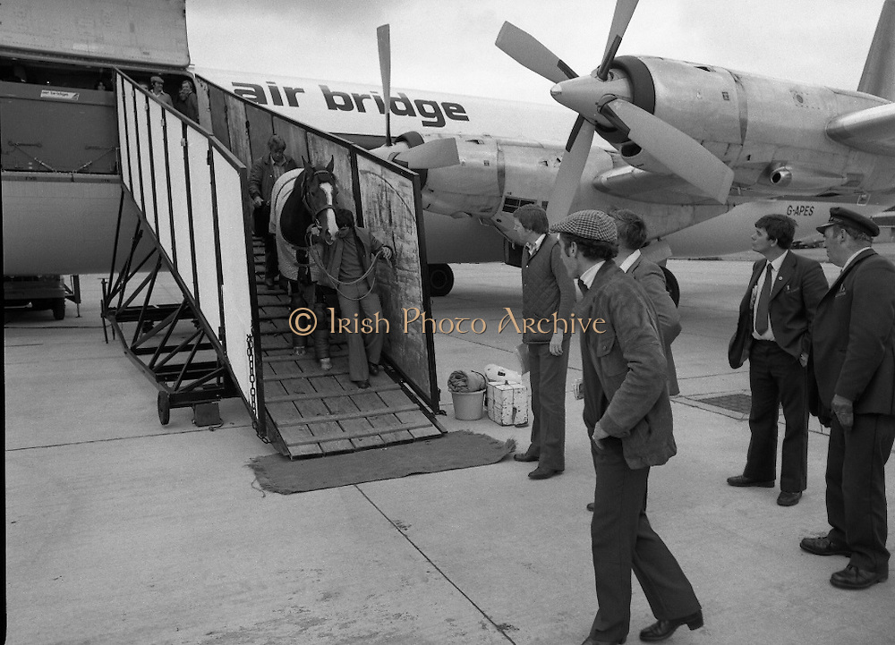 "Shergar At Dublin Airport.   (N82)..1981..25.06.1981..06.25.1981..25th June 1981..With the Irish Sweeps Derby being run on Saturday, ""Shergar"",the race favourite arrived at Dublin Airport today. the Sweeps Derby will be held on the Curragh Racecourse, Co Kildare. Shergar is owned by the stables of the Aga Khan..Image shows Shergar being walked down onto the tarmac from the aircraft on his arrival at Dublin Airport."