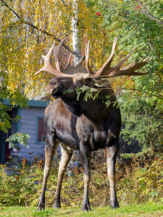 Alaska; Bull moose(Alces alces) eating urban vegetation in midtown Anchorage.