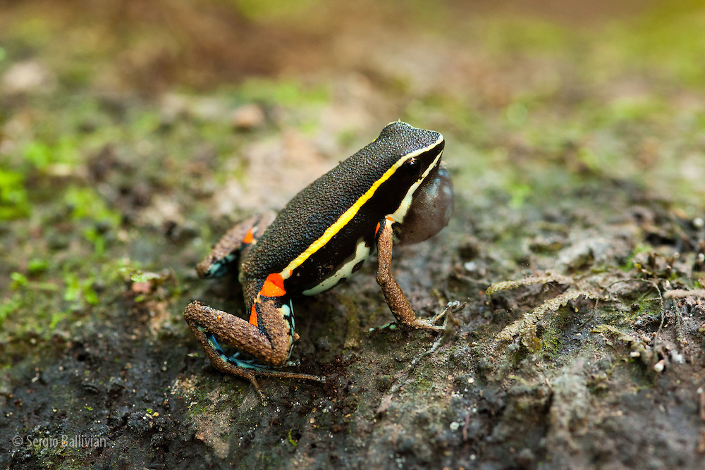A Spot-Flanked poison-dart frog (Epipedobates pictus) perches and calls near Chalalan Lodge in Madidi NP in Bolivia.