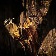 Strong Billed Honey Eater, seeks insects and grubs in the bark of a Eucalypt tree, Coningham State Reserve, Tasmania, Australia