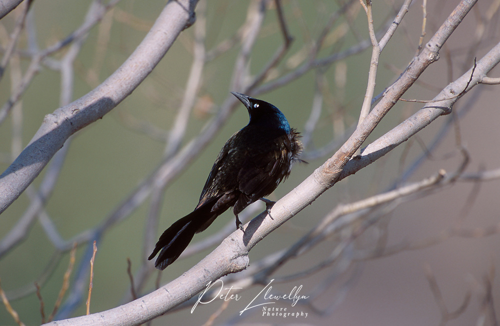 Common Grackle (Quiscalus quiscula), Fishcreek Provincial Park, Calgary Alberta, Canada   Photo: Peter Llewellyn