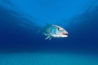 Amberjack<br /> <br /> Shot in Bahamas