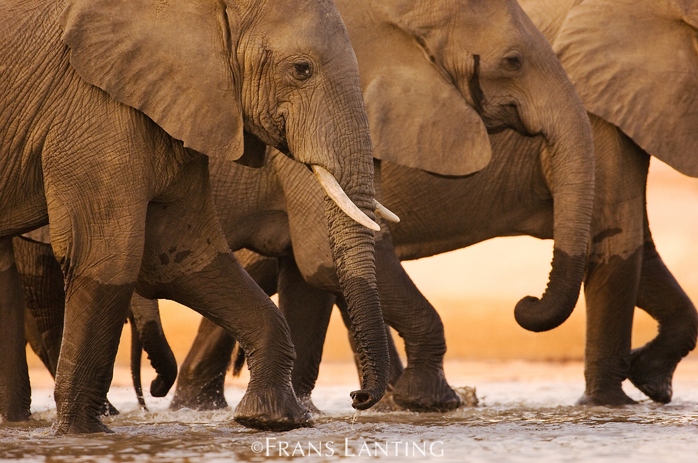 Elephants crossing Luangwa River at dawn, Zambia