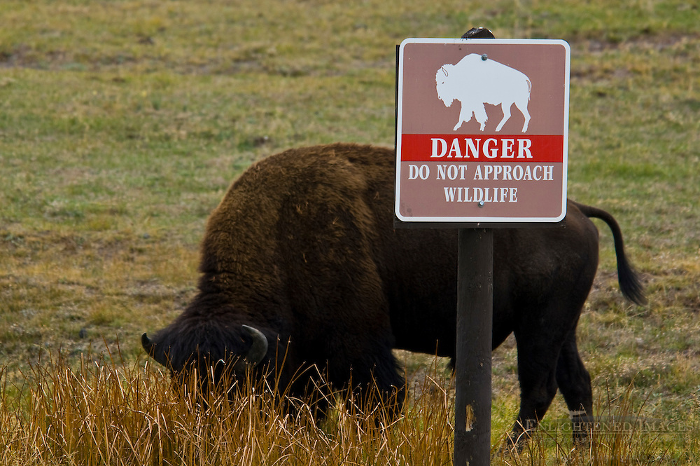American Bison Buffalo next to warning caution sign saying Do Not Approach Wildlife, near Old Faithful Lodge, Yellowstone National Park, Wyoming