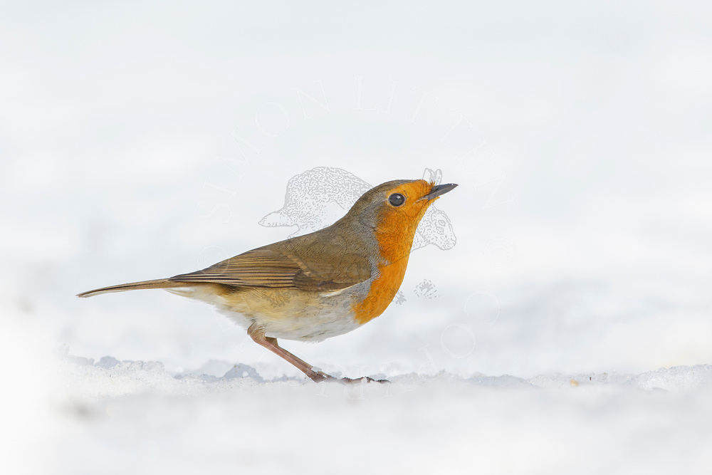 European Robin (Erithacus rubecula) adult, standing on snow covered ground, South Norfolk, UK, March