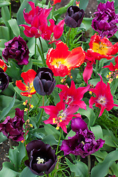 Tulipa 'Victoria's Secret' with T. 'Doll's Minuet', T. 'Paul Scherer' and ? parrot tulip - Sarah thought possibly 'Glasnost'