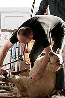 Man shearing sheep at National Ploughing Championships, Ireland. Stock images.