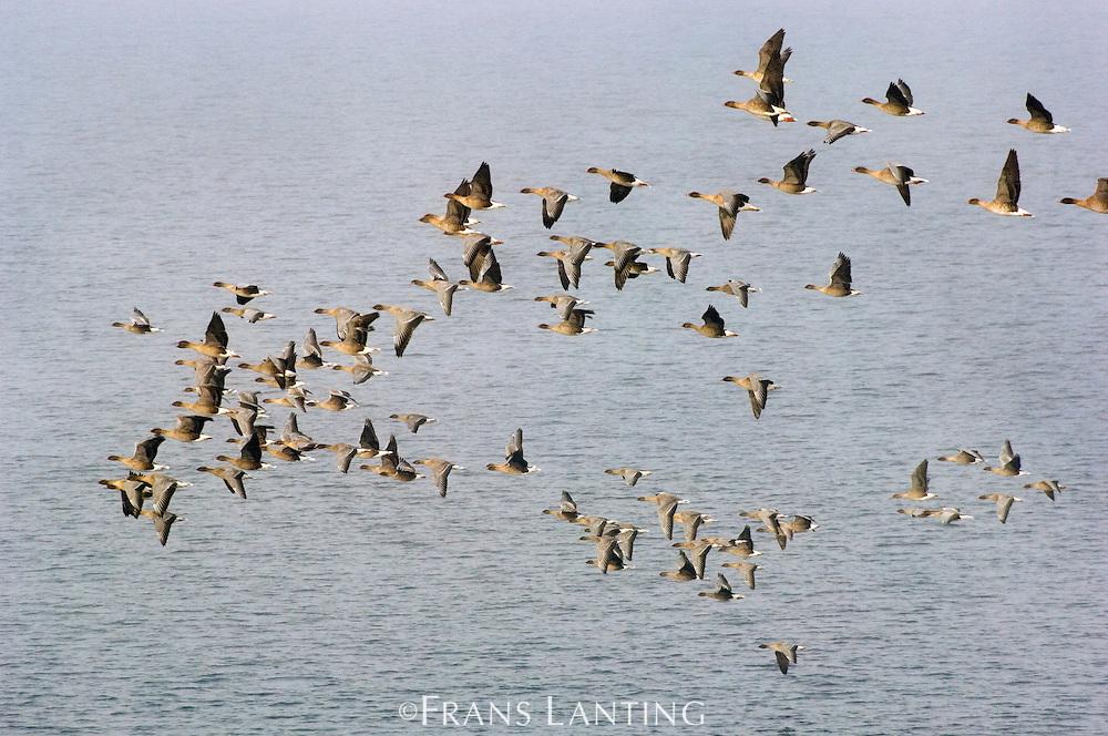 Barnacle geese migrating south, Branta leucopsis, Greenland