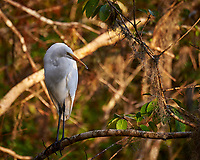 Great Egret outside Clyde Butcher's Gallery. Winter Nature in Florida Image taken with a Nikon D4 camera and 80-400 mm VRII telephoto zoom lens.