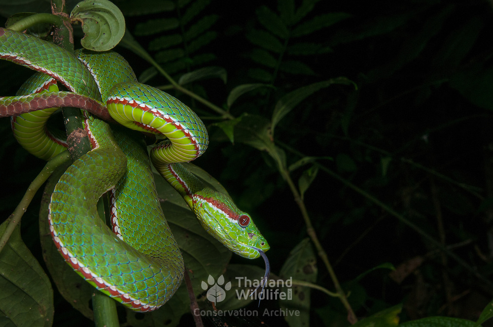 Pope's Pit Viper (Trimeresurus popeiorum) male in Doi Luang national park, Thailand