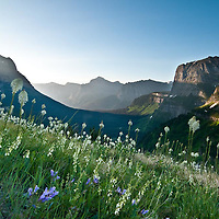 beargrass, in full bloom, backlit logan pass, glacier national park, montana