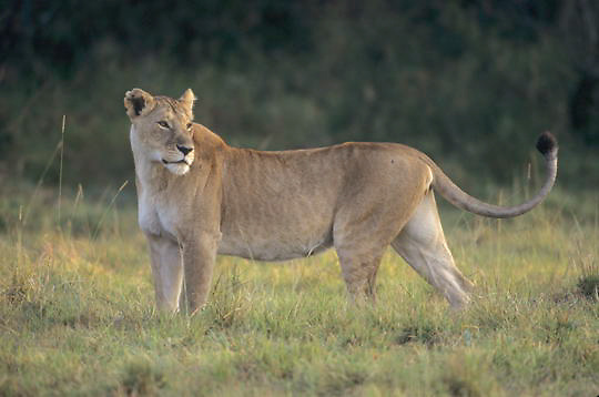 Lion, (Panthera leo) Mature female. Masai Mara Game Reserve. Kenya. Africa.