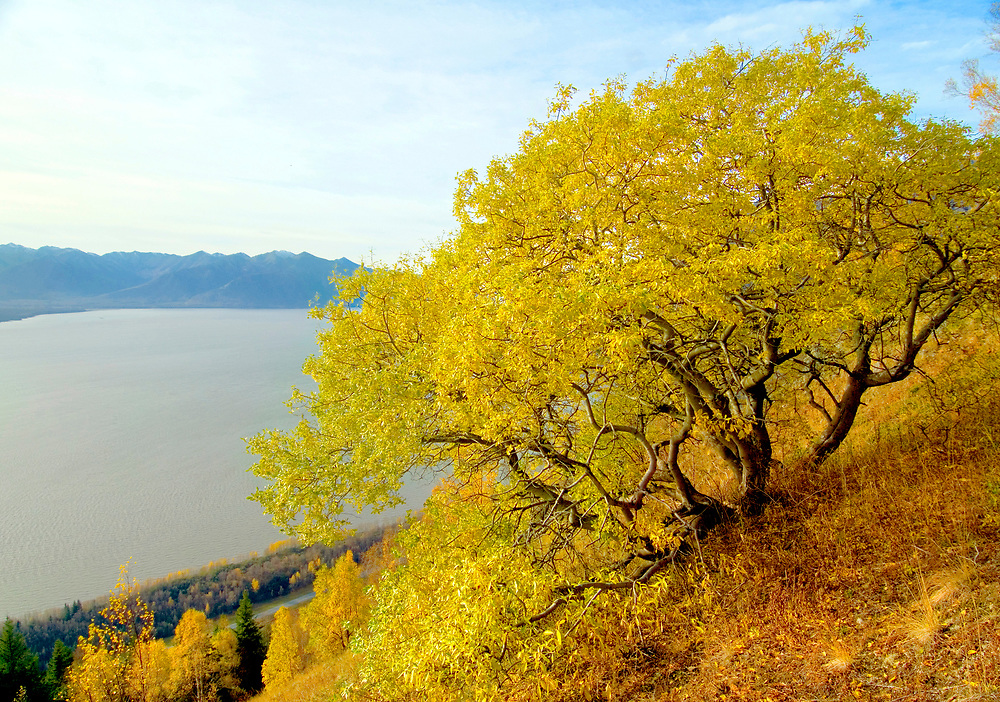 Alaska. Bird Ridge. A lone tree holds out against impending autumn and cosequently winter, from his perch above Turnagain Arm.