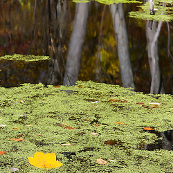 The leaf from a Tulip poplar tree, Liriodendron tulipifera, floats in duckweed in a beaver pond.  Nehantic State Forest in Lyme, Connecticut.  Birch tree reflections.