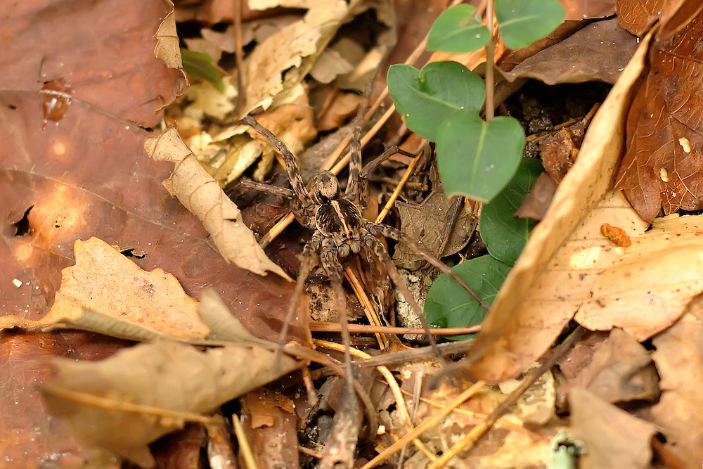 A large female Carolina wolf spider hunts among the forest leaf litter in search of prey above the Florida Caverns in Jackson County.