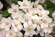 Delicate white flowers.