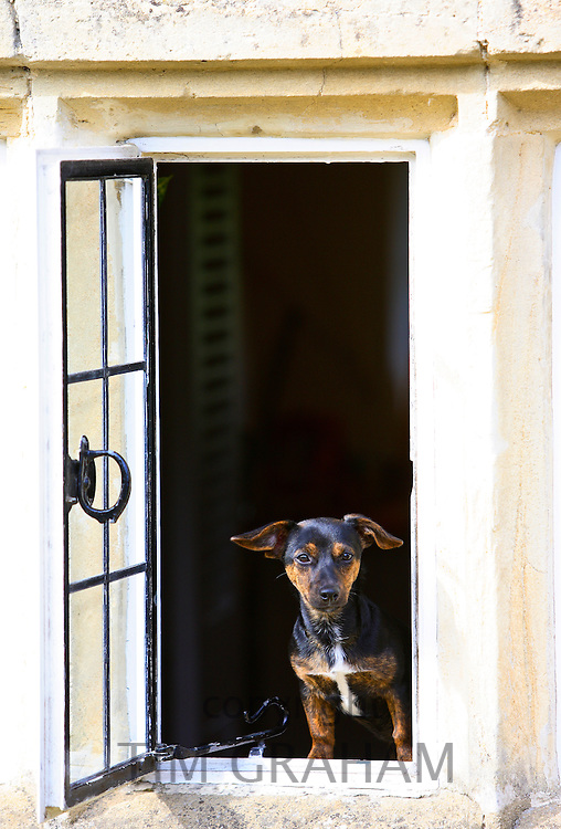 Black and tan Jack Russell terrier puppy sitting at a window, England, United Kingdom