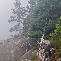 Trees rooted on rocks in the heavy fog, West Quoddy Head State Park, Lubec, Maine