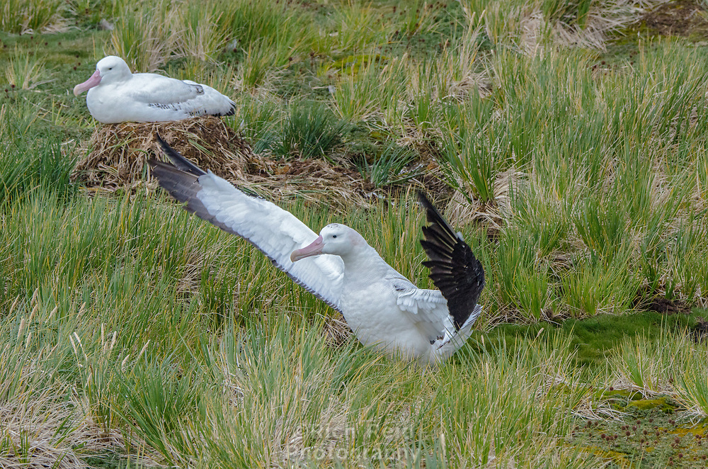 Pair of Wandering Albatrosses nesting on Prion Island in South Georgia.