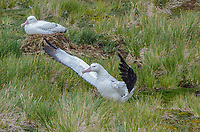 Pair of Wandering Albatrosses nesting on Prion Island in South Georgia.