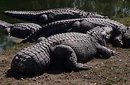 Vereinigte Staaten von Amerika, USA, Florida: amerikanischer Mississippi-Alligator (Alligator mississippiensis) mit einem abgebissenen Schwanz. Alligatoren sind Kannibalen. Kannibalismus kommt meistens in der Paarungszeit vor, wenn Maennchen um ein Weibchen kaempfen. Haeufig frisst der Sieger den Unterlegenen. | United States of America, USA, Florida: American Alligator, Alligator mississippiensis, with a lost tail, Alligators are cannibals, cannibalizing mostly happens in the mating season during the fights for a female, the victor often eats his rival. |