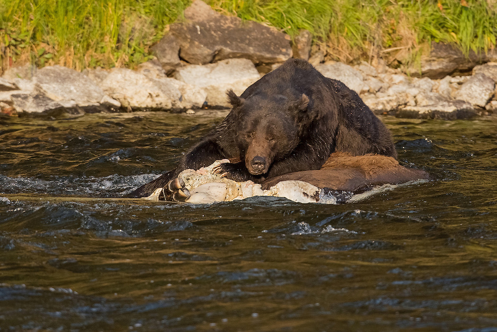 A dominant male grizzly, catches a bit of shuteye on a bison carcass afloat in the Yellowstone River. The drowned bison provided a week's worth of food for this old bear and many others who took advantage of this bounty.