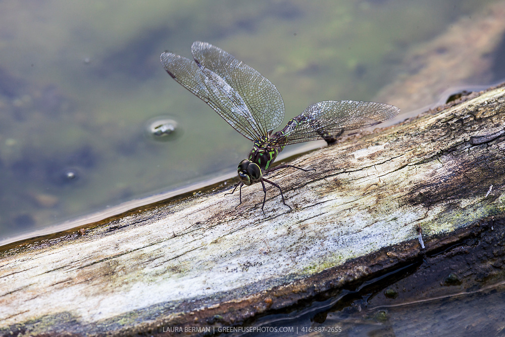 Green Darner dragonfly on a log. (Anax junius)
