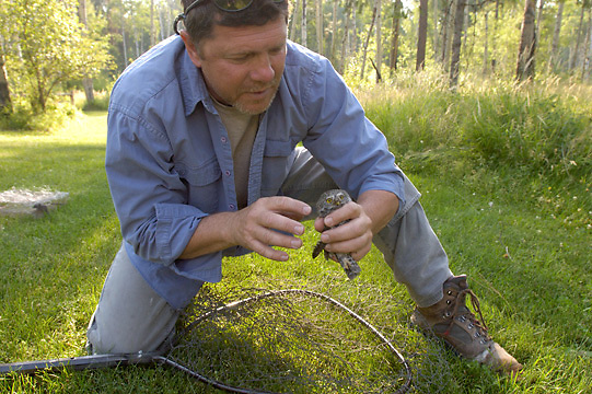 Denver Holt, biologist for the Owl Research Institute in Charlo, Montana, capturing adult Northern Pygmy Owl (Glaucidium gnoma) in fish net. Montana.
