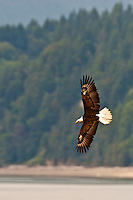 An immature Bald Eagle (Haliaeetus leucocephalus) (Halietus leucocephalus) soars  along Hood Canal in Puget Sound, Washington state, USA