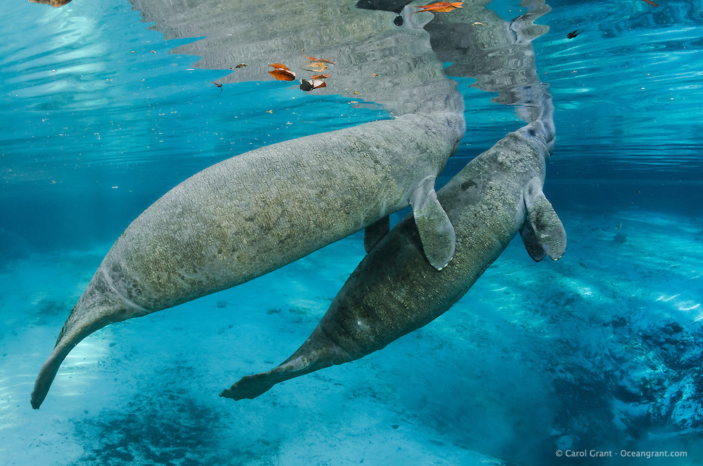 Florida manatee, Trichechus manatus latirostris, a subspecies of the West Indian manatee, endangered. Two male manatee calves surface while engaging in intimate play by a warm blue springhead. One calf is grabbing his buddy with his flippers. One of a series of calf intimate play or cavorting play behaviors. Horizontal orientation with sun rays and blue water. Three Sisters Springs, Crystal River National Wildlife Refuge, Kings Bay, Crystal River, Citrus County, Florida USA.