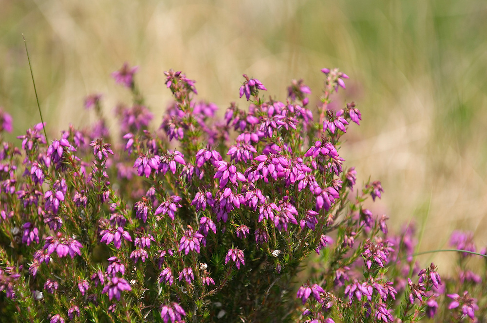 Bell Heather, Erica cinerea, growing in the Mourne Mountains, Ireland. Common in Scotland, England, Wales