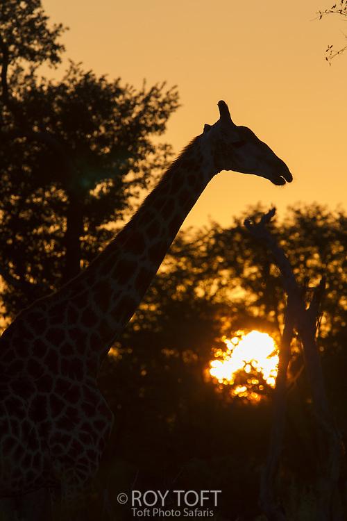 Silhouette of giraffe at sunset, Linyanti swamps, Botswana