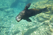 California Sea Lion <br /> Zalophus californianus<br /> Baja California, Mexico