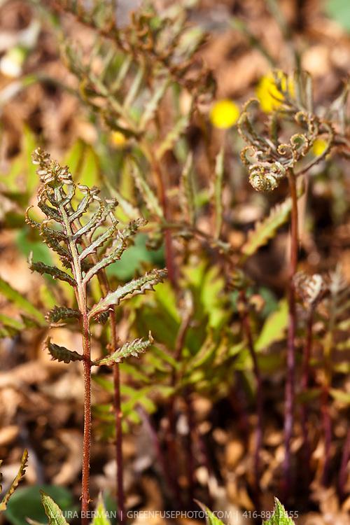 Cinnamon Fern (Osmundastrum cinnamomeum syn Osmunda cinnamomeum)