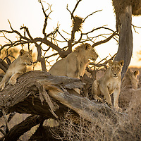 A wonderful moment I experienced in the Kgalagadi transfrontier park that cross borders South Africa and Botswana on 20 November 2015.  I captured a gathering of a small pride of lions very early in the morning with the sunrise in the background as the lions rested on an old tree.  The way they positioned themselves made for a beautiful composition.  The tree added great texture and diagonal angles in the frame.  Post processing in Adobe Lightroom 6 included cropping, dust removal.  Profile correction was also done.  I corrected the white and black values to portrai the natural, original scene.  Contrast was increased with 45%.  Highlights decreased by 50% since I was shooting into the sunrise. Shadows increased by 30%. Global sharpening by 10%. A Selection of African land predators from countries including Kenya, Botswana, Namibia and South Africa.