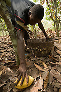 A farm worker collects a cocoa pod from the ground at a farm in the town of Assin Adadientem, roughly 100km west of Ghana's capital Accra on Sat. January 21, 2007.