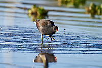 Common Gallinule (Gallinula galeata) searching for food in Lake Chapala, Jocotopec, Jalisco, Mexico