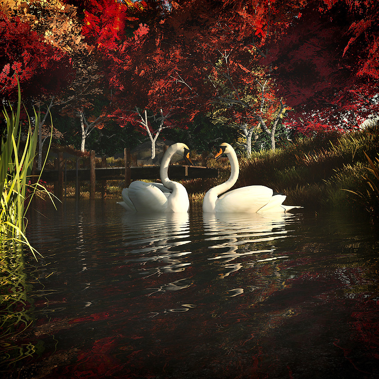 Peaceful image of two white swans