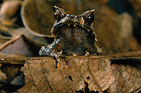 Mindanao horned frog (Megophrys stejnegeri) in the leaf litter on the ground..Mindanao Island, Philippines.