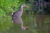 Birds of Mexico / Aves de México