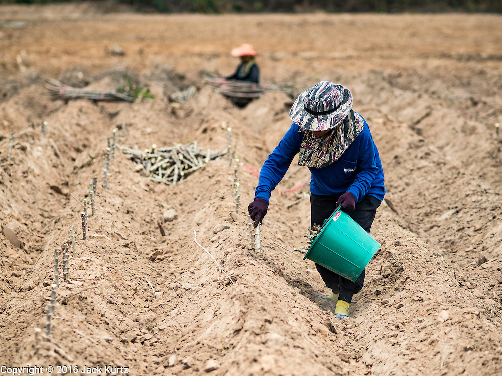 10 MAY 2016 - LAM NANG RONG, BURI RAM, THAILAND: Women plant cassava in a field in Buri Ram, Thailand. Many farmers in Thailand are several weeks behind schedule because of the drought in Thailand. Cassava is one of the crops the Thai government is suggesting farmers plant instead of rice. Thailand is in the midst of its worst drought in more than 50 years. The government has asked farmers to delay planting their rice until the rains start, which is expected to be in June. The drought is expected to cut Thai rice production and limit exports of Thai rice. The drought, caused by a very strong El Nino weather pattern is cutting production in the world's top three rice exporting countries:  India, Thailand and Vietnam. Rice prices in markets in Thailand and neighboring Cambodia are starting to creep up.    PHOTO BY JACK KURTZ